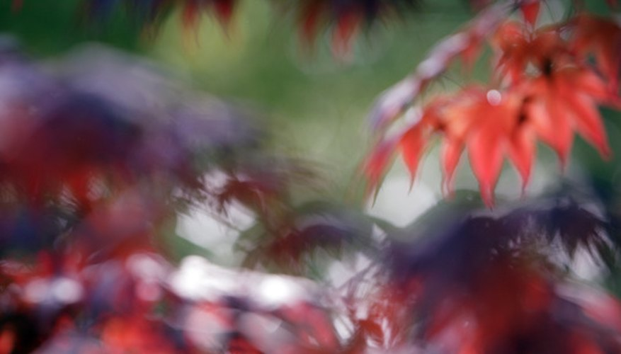 Blurred leaves of a Japanese maple