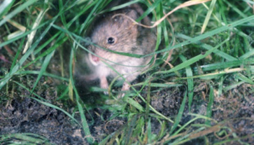 Voles can be very destructive in your garden, but they won't touch certain plants.