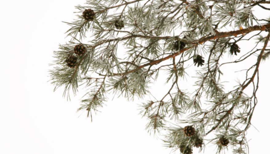 Several insects take on the shape and color of pine needles.