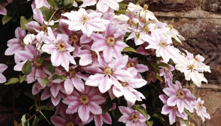 Clematis vines will burst with blooms with proper planting and care.