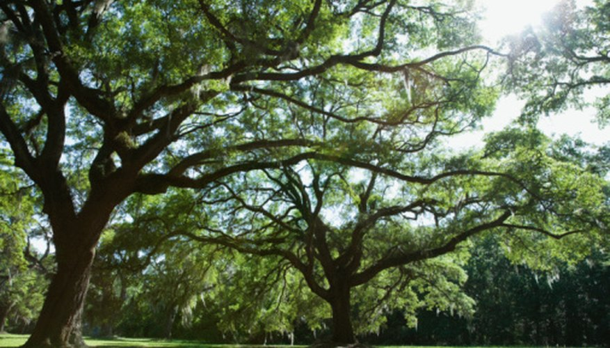 Healthy oak trees