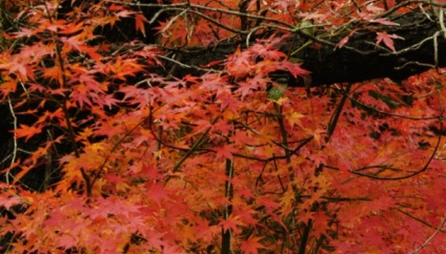 Add stunning color to your landscape by growing Japanese maple trees from seed.