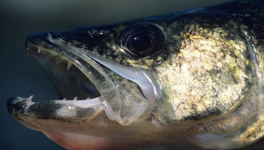 Determining the sex of a walleye takes a keen eye for detail and the right timing.