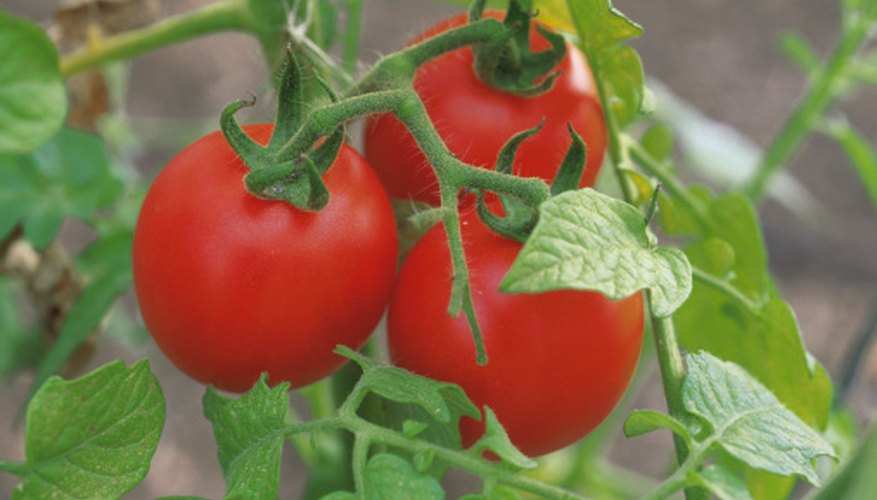 Tomatoes grow on farms or small gardens.