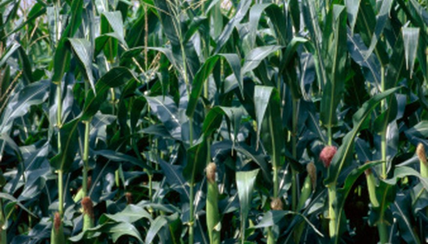 Sweet corn grows well in favorable conditions.