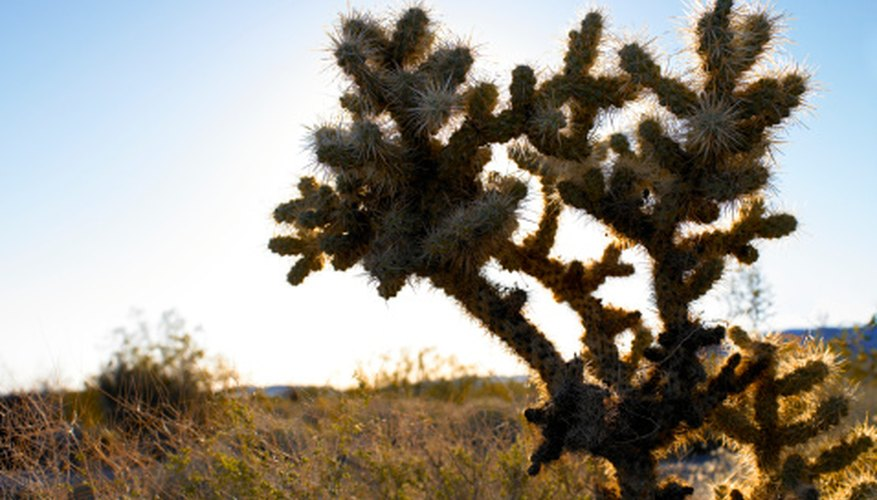 A cholla cactus is a large desert cactus.
