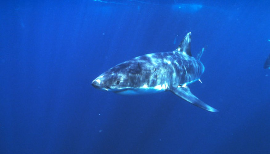 Great white sharks hunt many seal species.