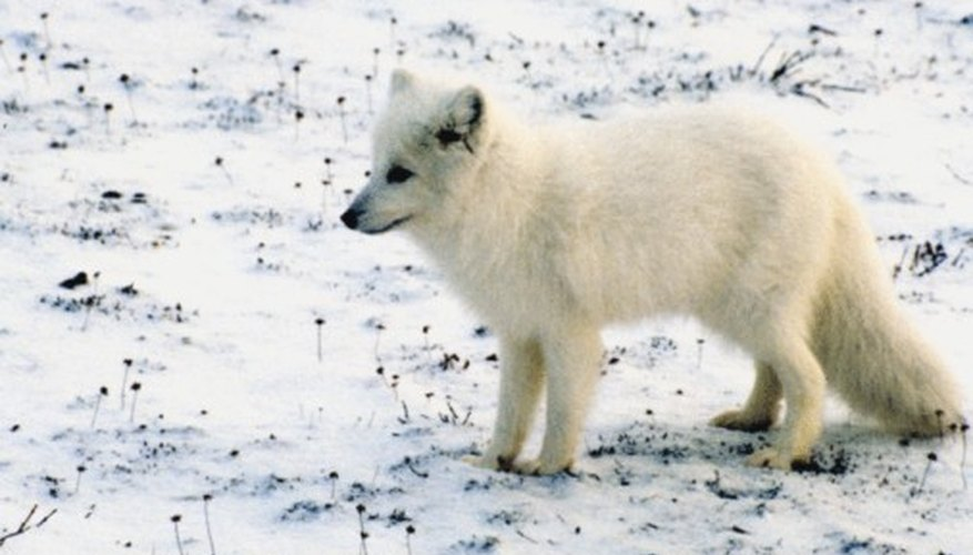 animals that inhabit the polar tundra | sciencing