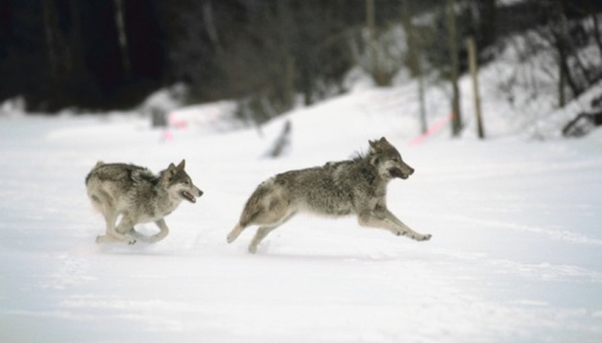 Gray wolves can swiftly cross 18 miles at trotting speeds.