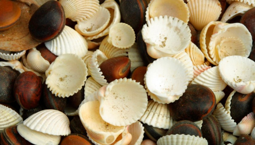 Seashells can be used in many craft projects.