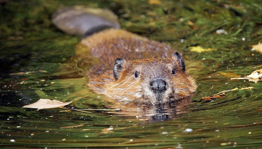 What Adaptations Do Beavers Have to Survive