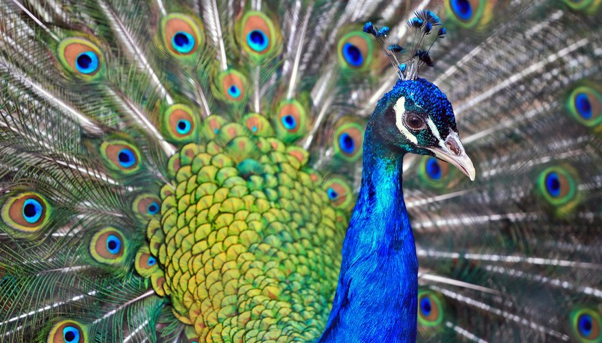 A peacock's showy tail feathers distinguish it from a peahen.