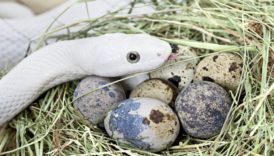 How to Identify Snake Eggs
