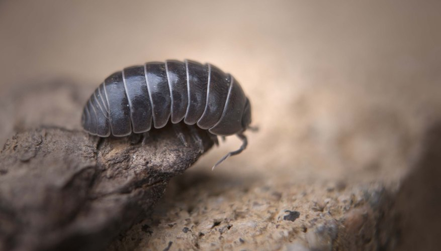 Roly-Poly Bug Facts