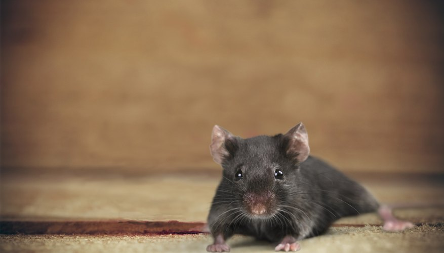 How to Get Rid of Mice With Ammonia