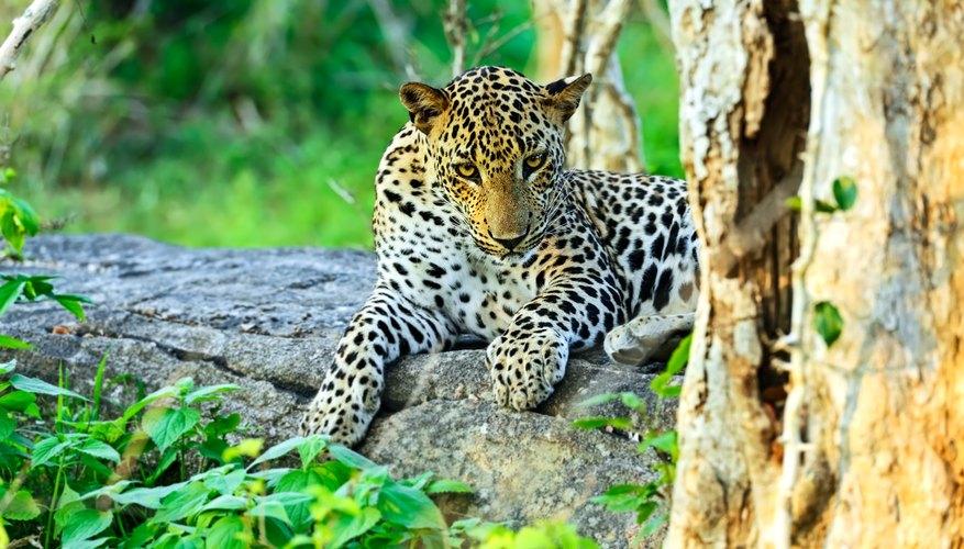 Leopards have become endangered due to deforestation.