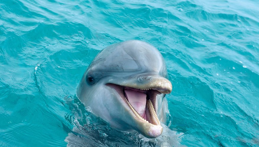 what are the characteristics of dolphins sciencing