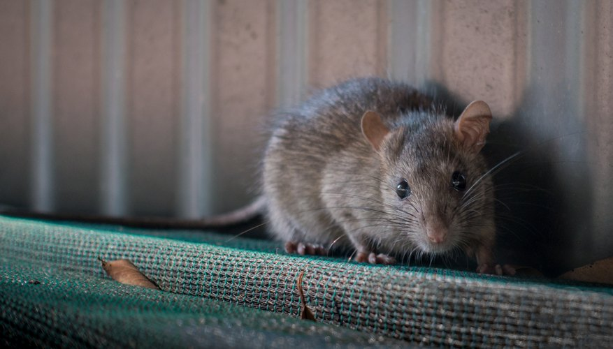Home Remedies for Killing Rats