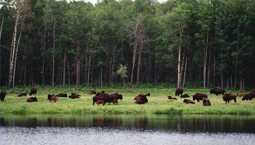 Raise Buffalo