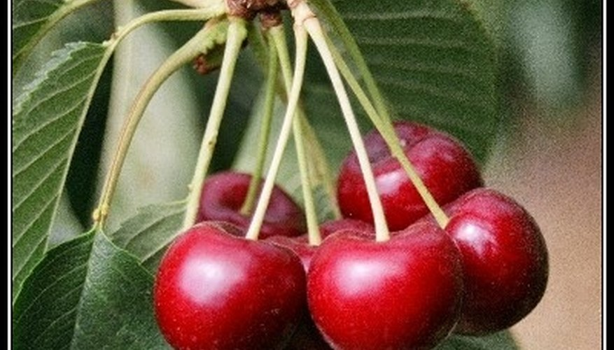 The cherry spur is the part of the tree that holds the stem of the fruit in place. A single spur can hold as many as 5 or 6 cherries.