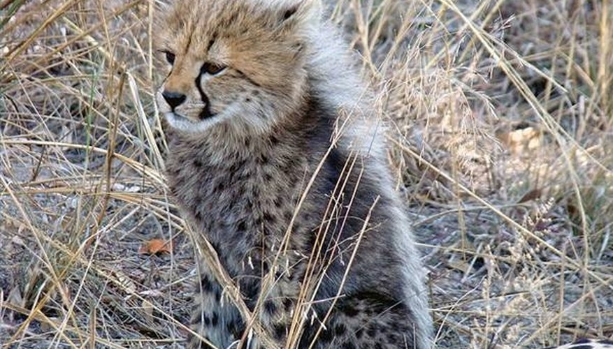 Cheetah cub. Photo by Lukas Kaffer.