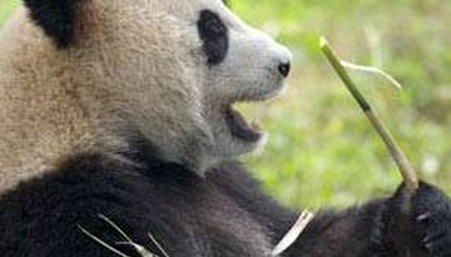 Giant pandas make a variety of sounds