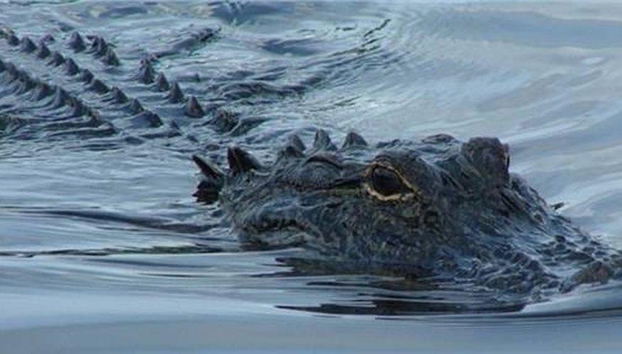How Do Alligators Mate?
