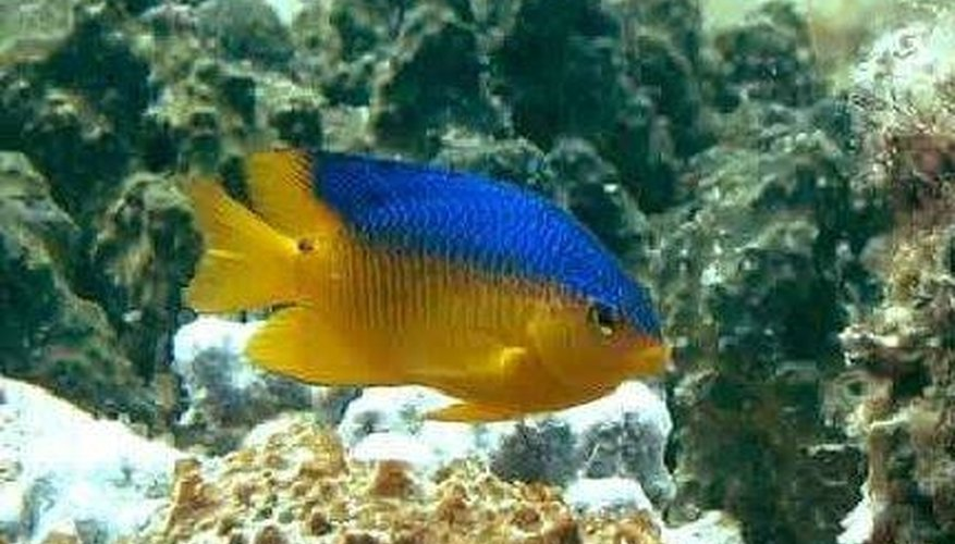 The damselfish, oviparous