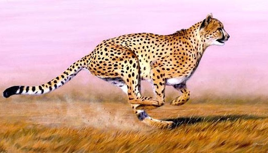 how fast does a cheetah run sciencing