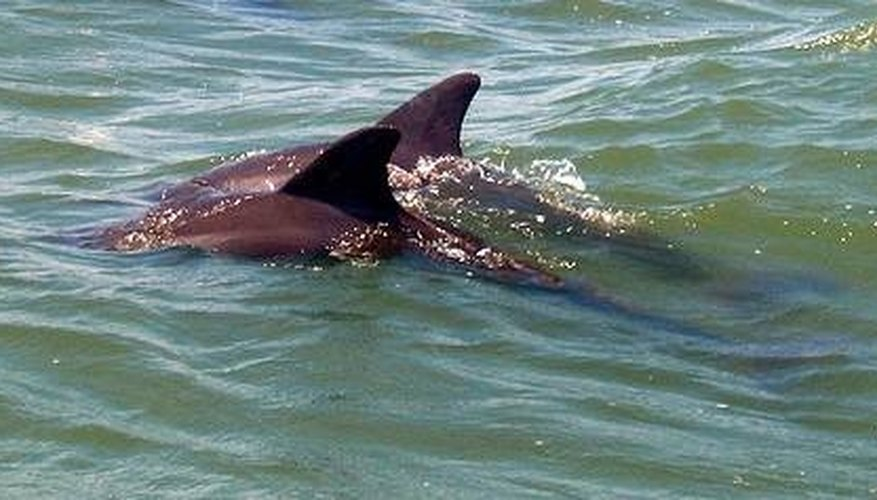 Do Dolphins Migrate or Hibernate?