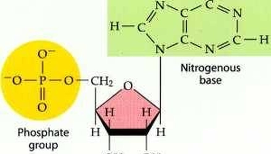 Consisting Of A Five Carbon Sugar Deoxyribose A Phospgroup And A Nitrogenous Base A Nucleotide Links With Another Nucleotides In A Repeating