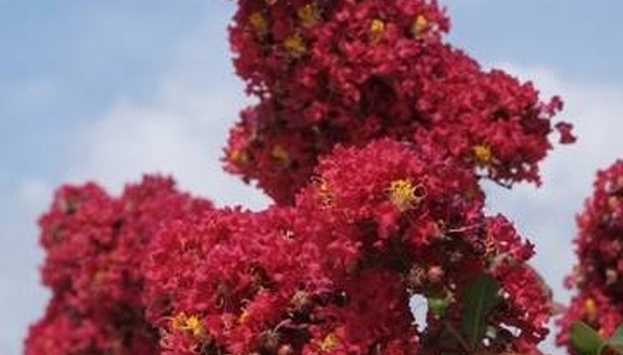 The Lovely Flowers of the Banaba Bush, or Crepe Myrtle