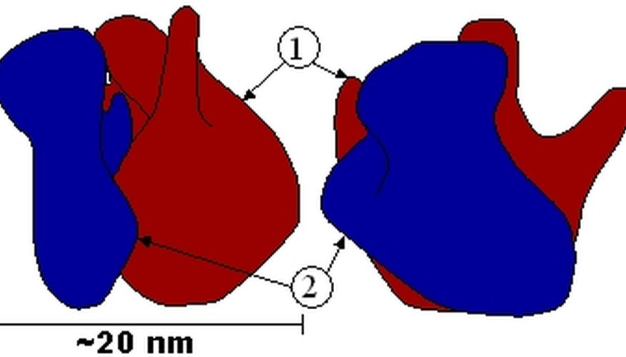 Two Parts of a Ribosome