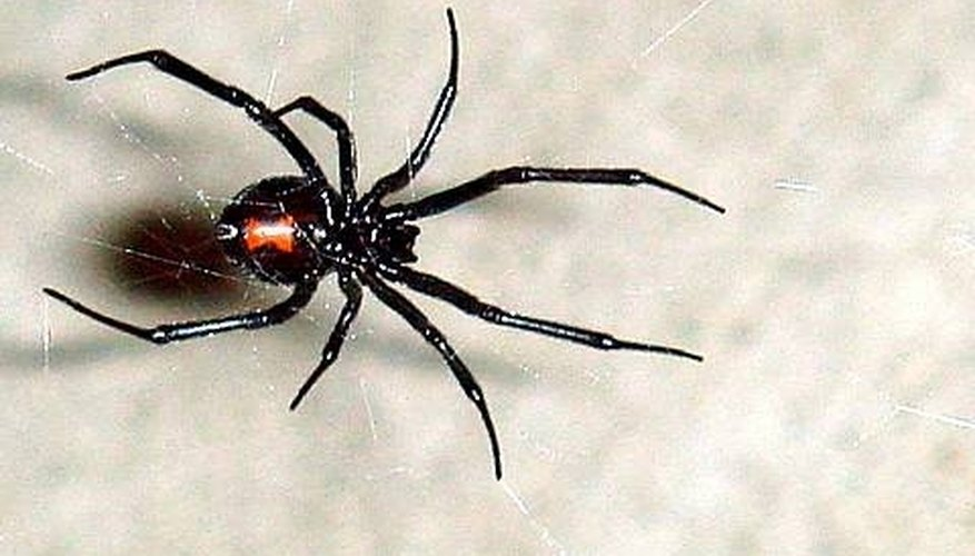 Types of Poisonous Spiders