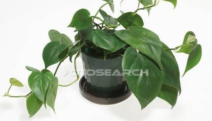 Identify Types of House Plants