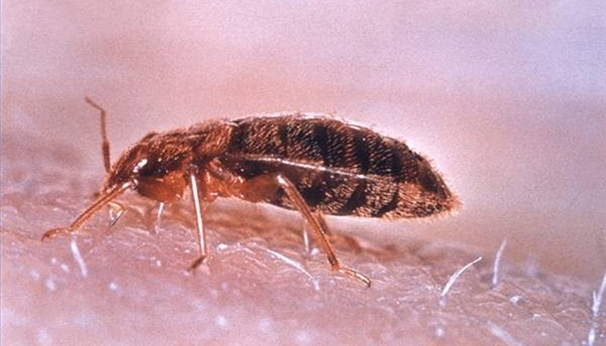 What Kills Bed Bugs?