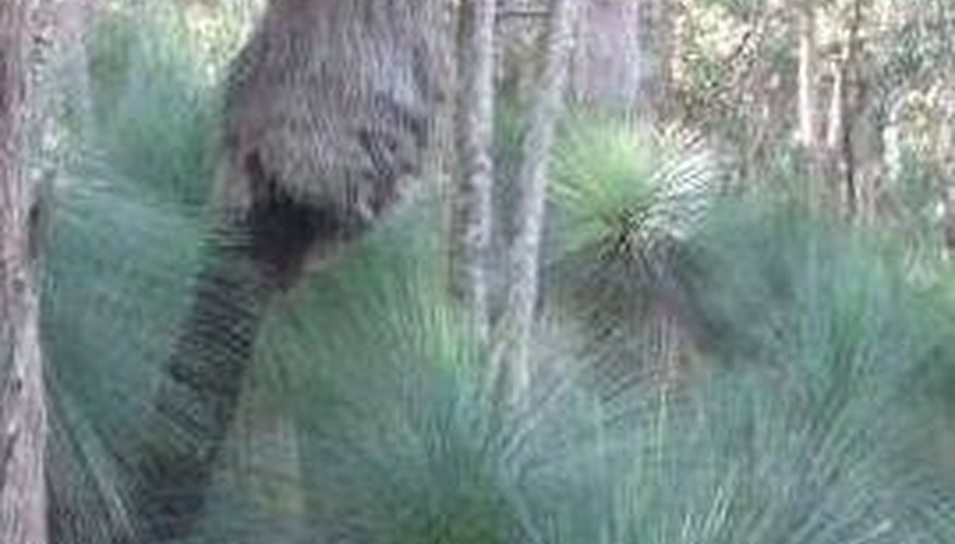 Large wild grass tree, possibly several hundred years old
