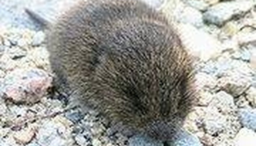 Baby voles are the size of a half-dollar.