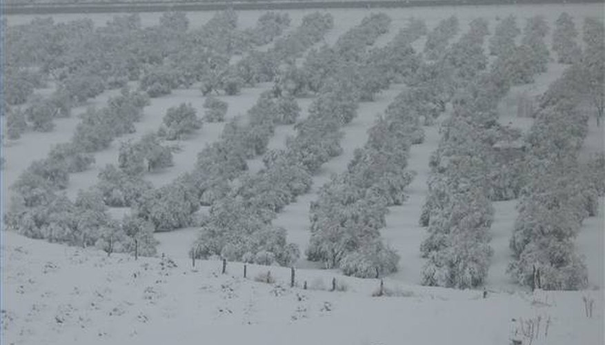 Andalusian olive trees in winter.
