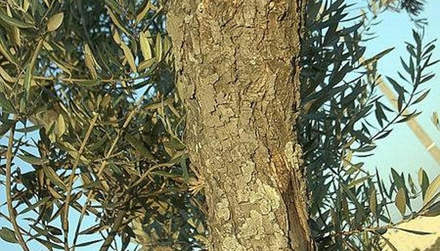 An olive tree trunk