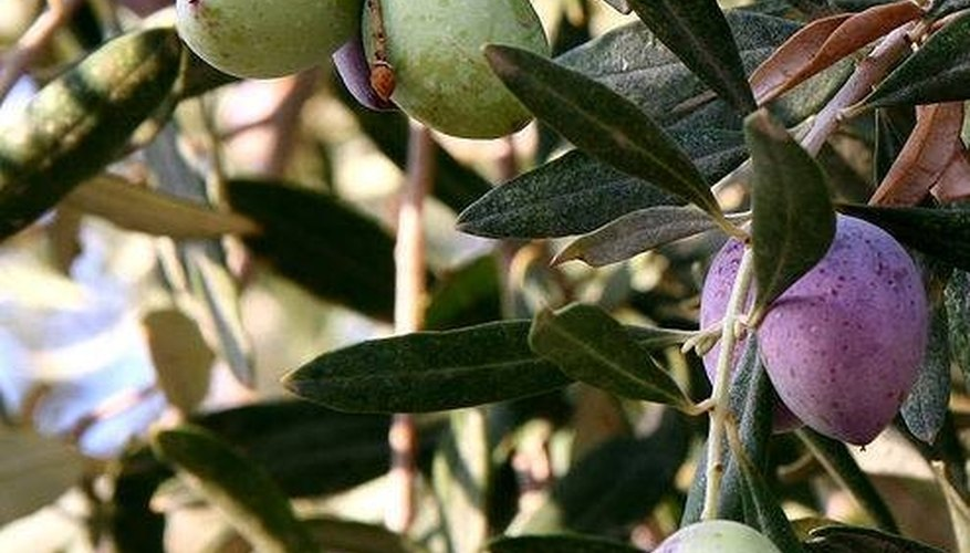 Characteristics of the Olive Tree