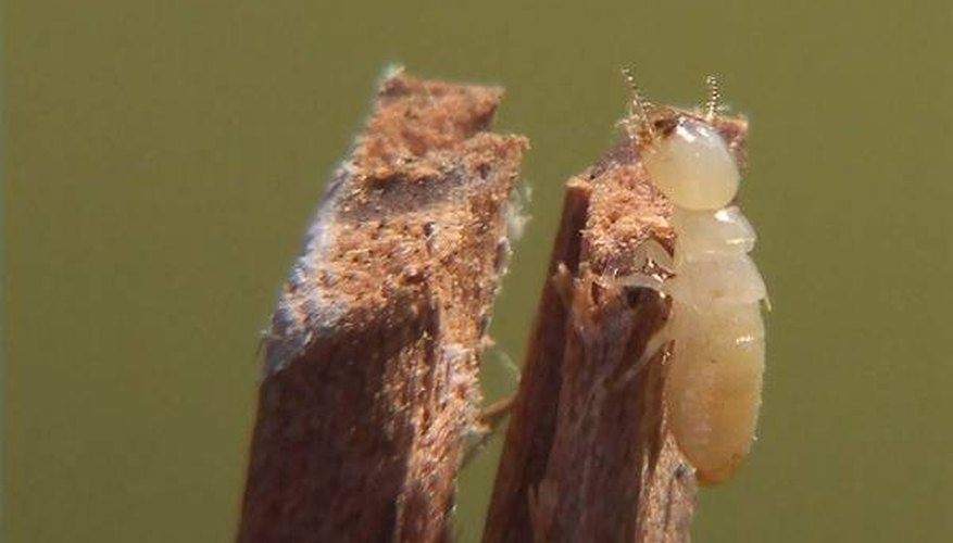 Typical white, wingless worker termite.
