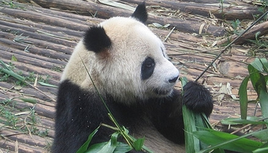 Why Are Pandas Endangered Animals?