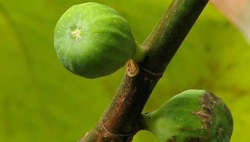 Figs are a multiple fruit.