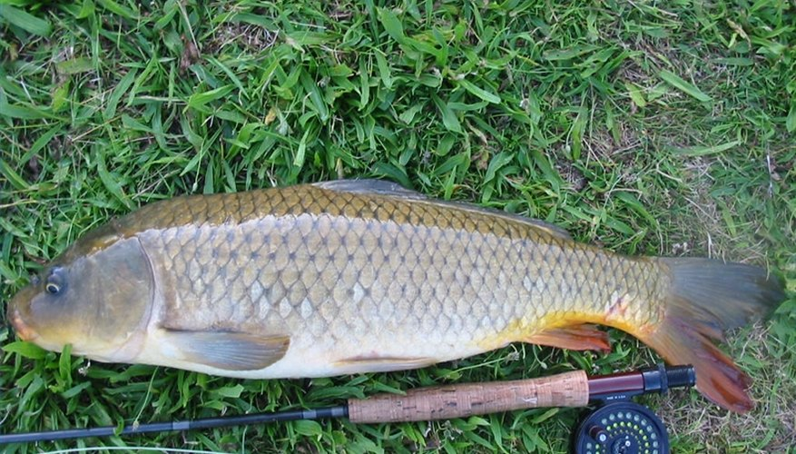 how to make smoked carp bait