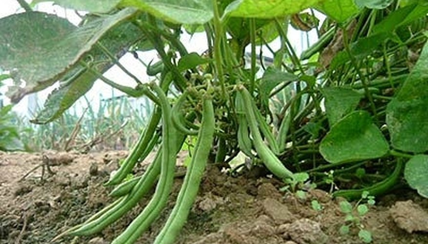 by wanko, Green Beans ready for harvest