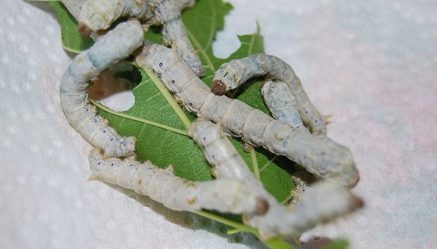 Silkworms just before entering pupae