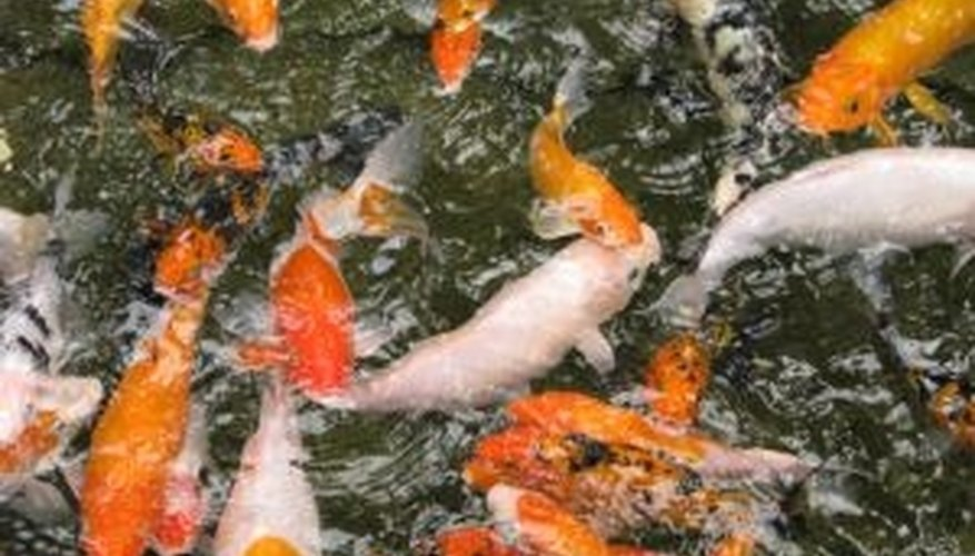 Pond fish need clear water provided by an effective pond filter.