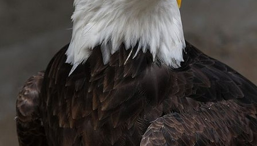 How Long Do American Bald Eagles Live?