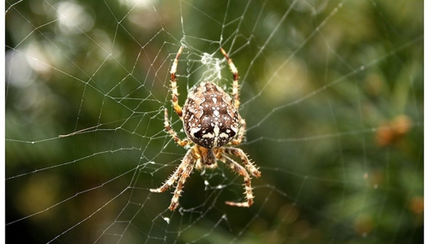 European cross spider